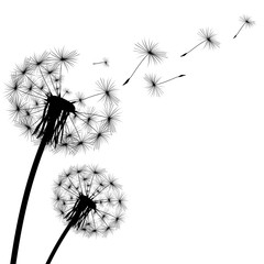 black silhouette with flying dandelion buds on a white backgroun