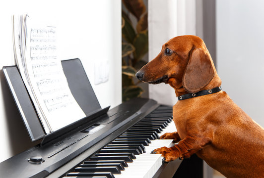 Funny dog playing the piano
