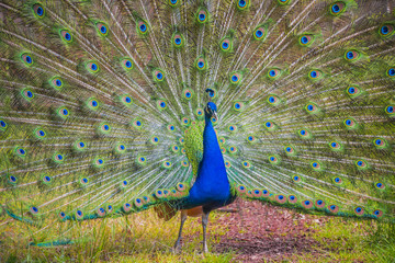 Beautiful peacock with displayed colorful tail, summer time