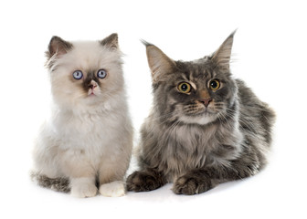 british longhair kitten and maine coon