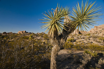 a young joshua tree in desert landscape