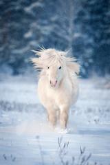 White shetland pony running in winter