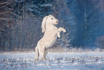 Beautiful white shetland pony rearing up in winter
