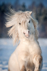 White shetland pony rearing up in winter