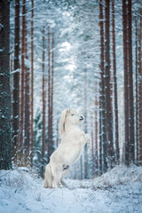 Fototapete - White shetland pony rearing up in the winter forest