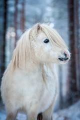 Portrait of white shetland pony in winter
