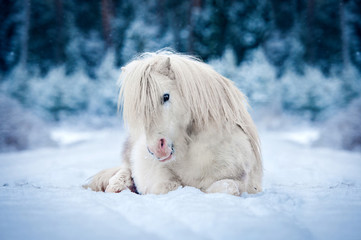 Wall Mural - White shetland pony lying on the snow in winter