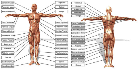 Vector 3D man muscle anatomy with text isolated