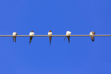 Swallows gather and relax on the wires at summer with clear blue sky