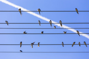 Swallows relax on the parallel wires and clear blue sky with contrail at summer