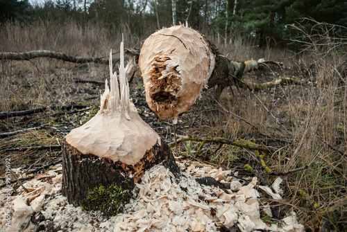 Fallen tree cut by a beaver - splintered tree stump surrounded with