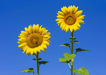 Beautiful two sunflowers with clear blue sky