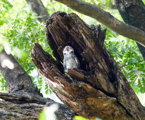 Bird spotted owlet .