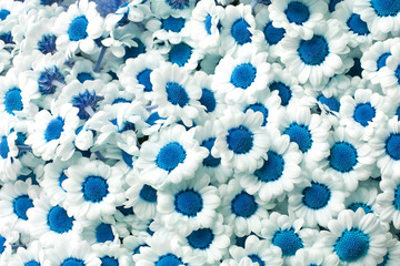 blue chrysanthemum santini flowers