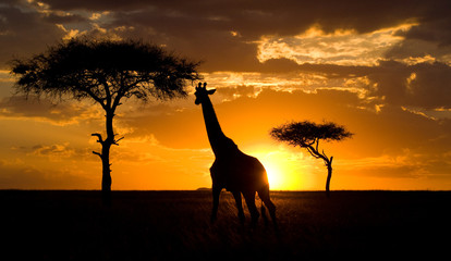 Giraffe at sunset in the savannah. Kenya. Tanzania. East Africa. An excellent illustration.