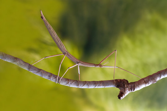 Stick insect on the branch