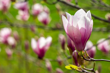 magnolia flowers close up on a green grass background