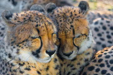 Endangered cheetah cubs sleeping