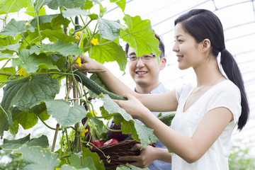 Young couple picking cucumbers in greenhouse
