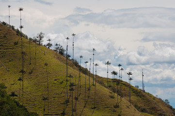 Big palm trees on slope of a green hill under cloudy sky in Cocora Valley