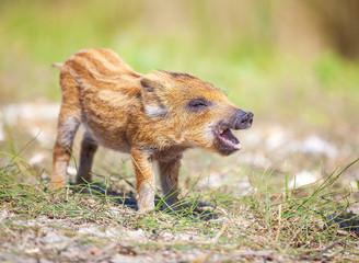 Wild piglet making calls on summer day