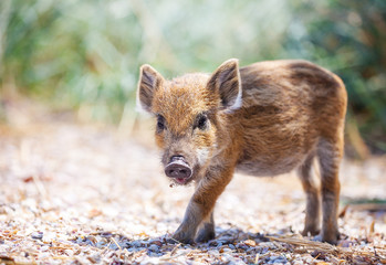 Wild piglet standing on a path