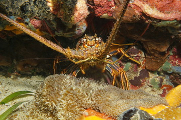 A spiny lobster underwater Caribbean sea