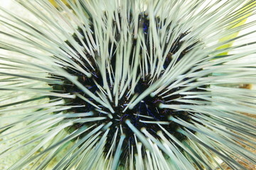 Long spined sea urchin white spines and blue lines
