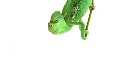chameleon Wall mural