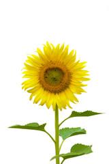 Sunflower isolated on white