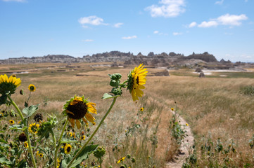 Fototapete - Sunflower in the Badlands national park, South Dakota, USA
