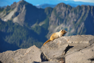 Fototapete - Marmot, Mount Rainier National Park, Washington, USA