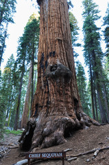 Fototapete - Chief Sequoyah, one of the biggest tree in the world in Sequoia