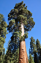 Fototapete - One of the biggest Sequoia tree in the world, Sequoia National P