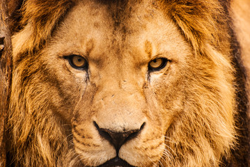 Foto auf Leinwand Löwe Closeup portrait of an African Lion