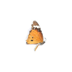 Closeup dead butterfly isolated on white background