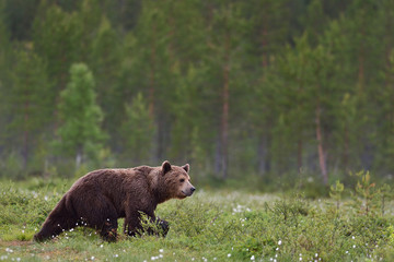 brown bear walking with forest background