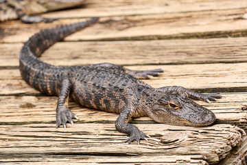 Baby alligator resting on a wooden plank.