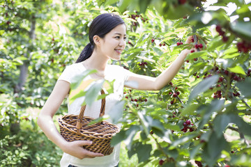 Young woman picking cherries in orchard