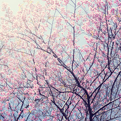 Sakura in winter at Doi Kunwang, Chaingmai , Thailand. Vintage f