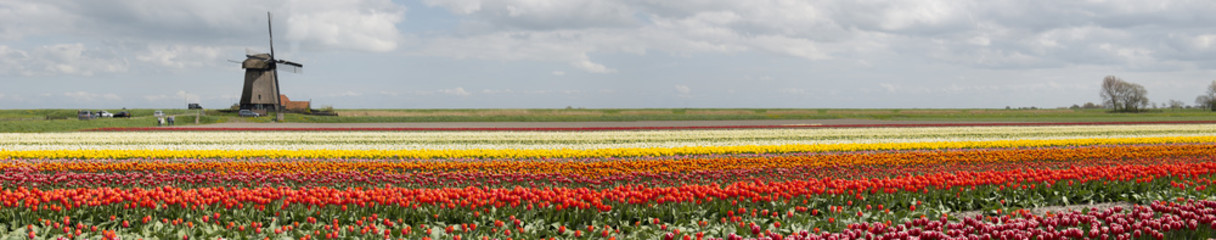 Tulip field with a windmill