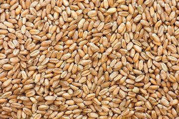 Obraz Whole wheat grain kernels background - fototapety do salonu