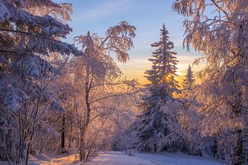 Высокие заснеженные деревья освещены солнцем.