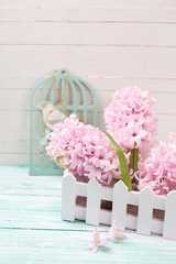 Fresh pink hyacinths flowers in wooden box on turquoise painted