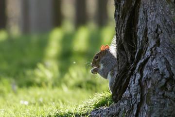 Grey Squirrel (Sciurus carolinensis) eating