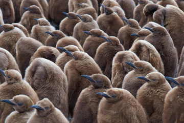 Large group of King Penguin (Aptenodytes patagonicus) chicks standing together in a creche at Volunteer Point in the Falkland Islands.