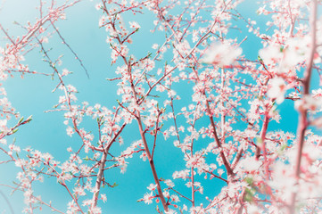 Spring  fruits trees branches with buds and flowers on blue sky background in garden or park, selective focus.