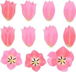 pink tulips set