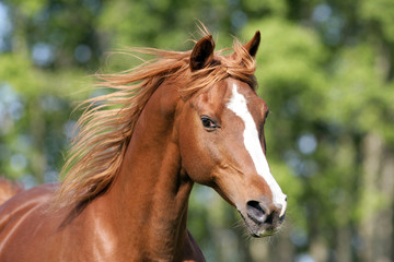 Head shot of beautiful Chestnut Stallion galloping
