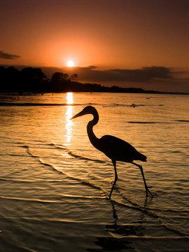 Heron walking along beach at sunset